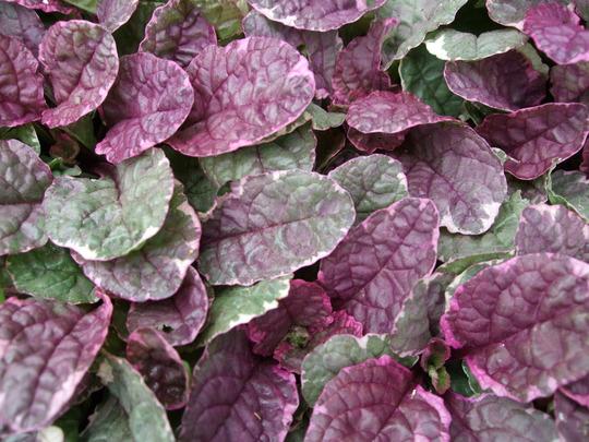Pink leaves on my Ajuga (Ajuga reptans 'Burgundy Glow')