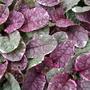 Pink_leaves_ajuga