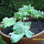 one of my new rhubarb plants