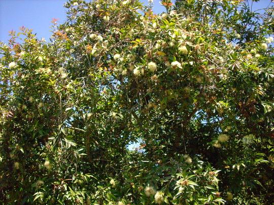 Syzyygium jambos - Rose Apple  (Syzyygium jambos - Rose Apple)