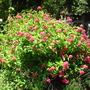 Pentas lanceolata - Pink Pentas
