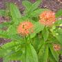 Scadoxus multiflorus - African Blood Lily (Scadoxus multiflorus - African Blood Lily)