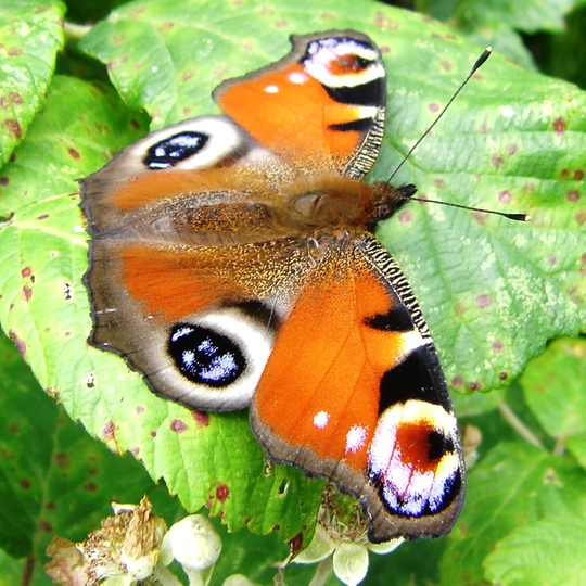 Peacock Butterfly on Bramble 9-07-09_3.jpg