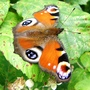Peacock_butterfly_on_bramble_9_07_09_3
