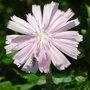 Cichorium intybus 'Roseum' - 2009 (Cichorium intybus)