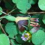 Fuchsia_procumbens_2009