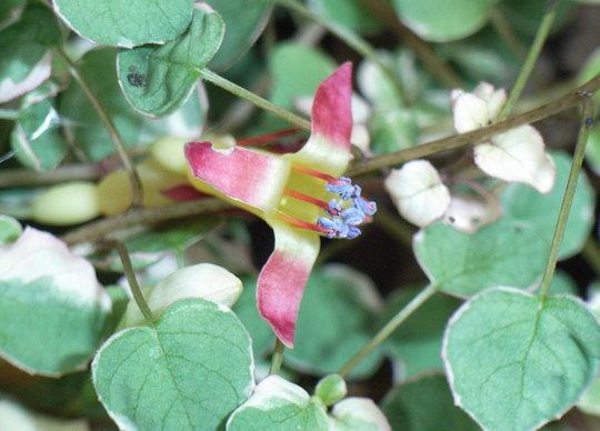 Fuchsia procumbens 'Argentea' - 2009 (Fuchsia procumbens)