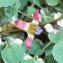 Fuchsia_procumbens_argentea_2009
