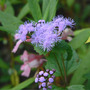 Mistflower_blue_exc_9_10_06_med