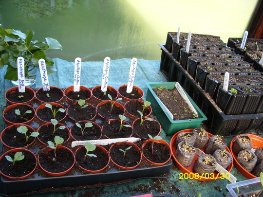 Some of my seedlings in north facing lean-to