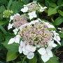 Hydrangea_macrophylla_lanarth_white_