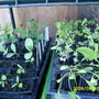 "more seedlings- outside in temporary ""greenhouse"""