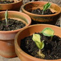 Potted up Hostas (Hosta 'Great expectations')