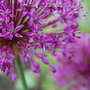Allium in Bloom (Allium hollandicum 'Purple sensation')