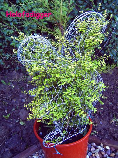 My crazy squirrel (Buxus sempervirens (Common box))