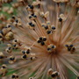 Allium gone to seed (Allium hollandicum 'Purple sensation')