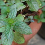 Chocolate peppermint (Mentha x piperita citrata 'Chocolate')