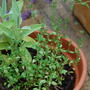 Pot of sage and thyme