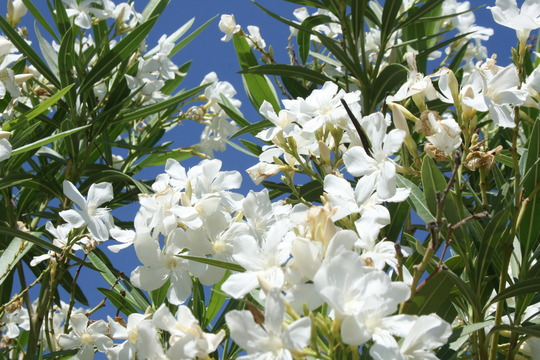 white oleander (oleander)
