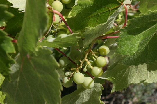 and the grapes are ripening