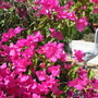 the bouganvillea going wild too (Bouganvillea)