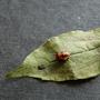 Harlequin Ladybird pupa