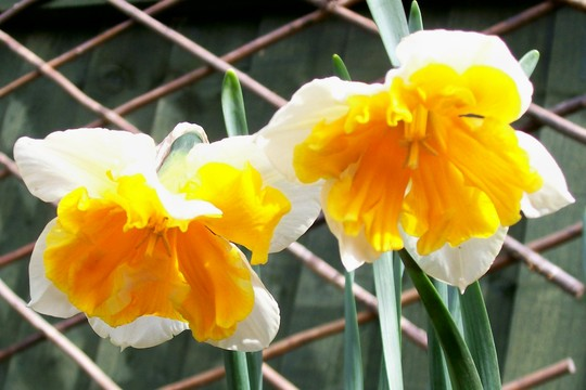 Daffodil 'Apricot Whirl' (narcissus 'apricot whirl')