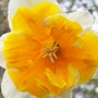 Close up - Apricot Whirl (narcissus 'apricot whirl')