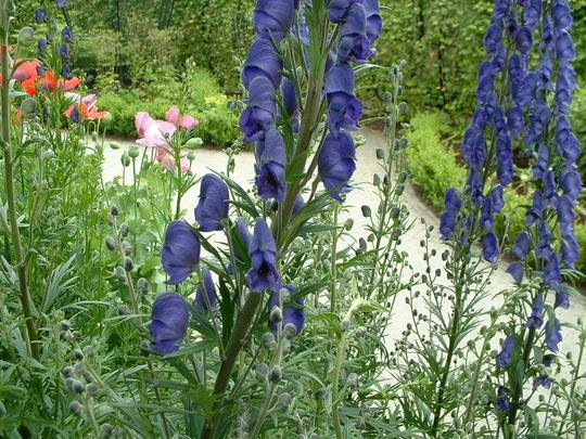 Artemisia absinthium (Artemisia absinthium (Wormwood))