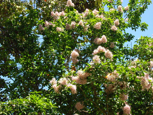 Calodendron capense - Cape Chestnut  (Calodendron capense - Cape Chestnut)