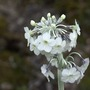 Primula_chionantha_close_up