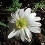 Anemone_blanda_white