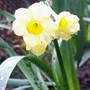 Daffodil 'Minnow' (Narcissus)