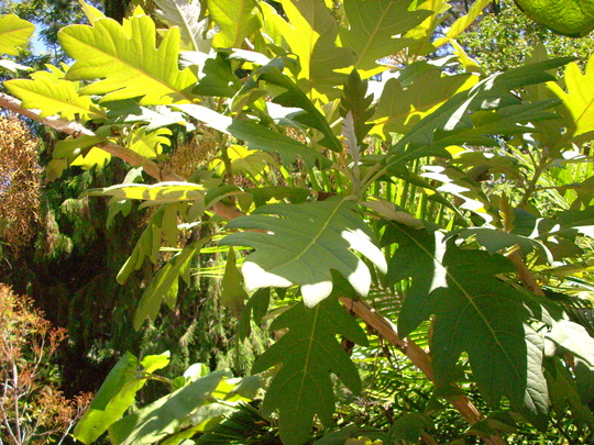 Bocconia frutescens - Tree Poppy (Bocconia frutescens - Tree Poppy)