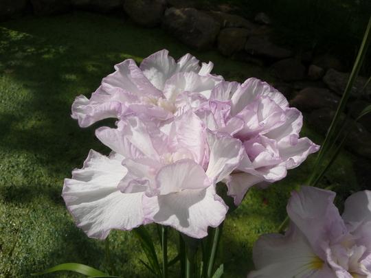 Iris Sebirica