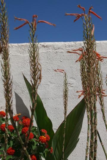 Lantana & cacti (Canna indica)