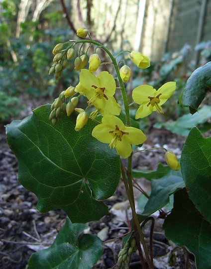 Epimedium pinnatum subsp colchicum (Epimedium pinnatum subsp colchicum)