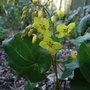 Epimedium_pinnatum_subsp_colchicum