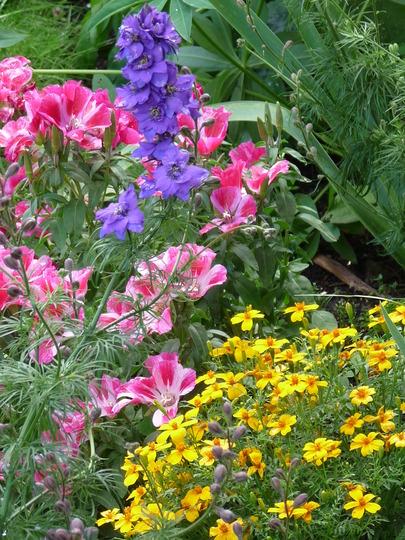 Summer flowers (Tagetes tenuifolia (Tagetes))