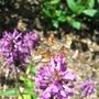 Butterfly_2_reduced.jpg