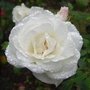Rose_gardens_Hanworth_110709_after_rain_2.jpg