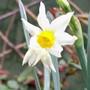 Narcissus 'Jack Snipe' (Narcissus)