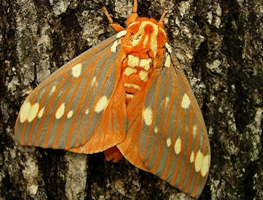 Picture of a regal moth