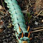 Pic of Hickory Horned Devil for Bonkers and Toto