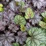 'Heucheras.' Leaf study. (Heuchera micrantha (Coral flower))
