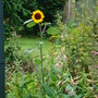 Lonely sunflower!