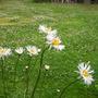 Leucanthemum_superbum_phyllis_smith_