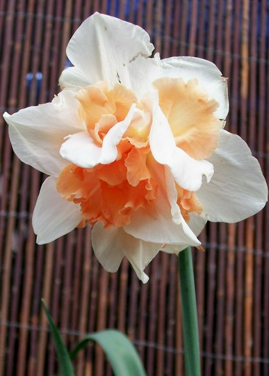 'Replete' still going strong (narcissus replete)