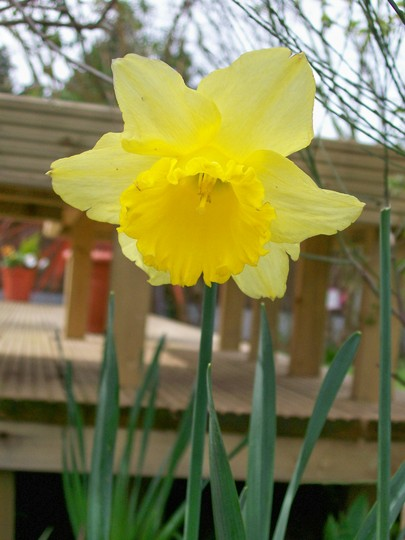 Fading bloom (Narcissus)