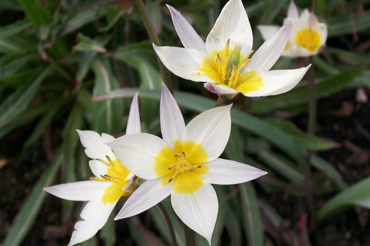 Little Spray Tulip (Tulipa turkestanica (Tulip))